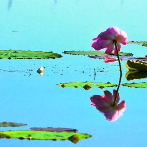 Pink Flower Reflection